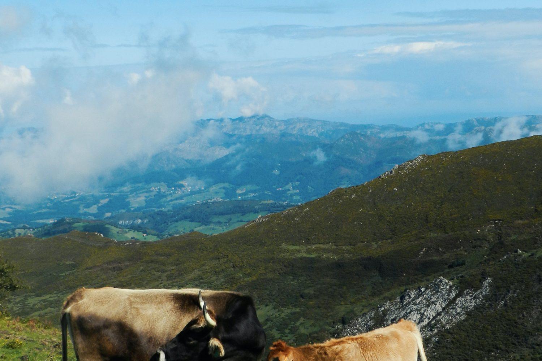 Asturias vacas/vmoute